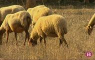 Feinejarem entre ovelles, porcs i garroves, trencarem ametles i cuidare