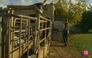 Criarem vaques, tastarem salsa coenta i greixera d'ous