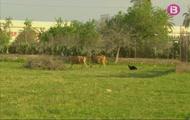Munyim vaques i cabres, comparam ous de gallina i oca i passejam per les Rotes de Caimari
